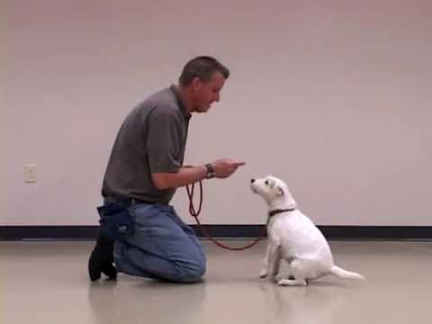 Training an Older Dog to LIE DOWN or DROP