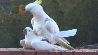 Sweet & Funny Cockatoo Love - DIRECTOR'S CUT