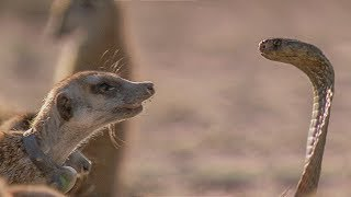 Meerkat Family Faces Off with Cobra   BBC Earth