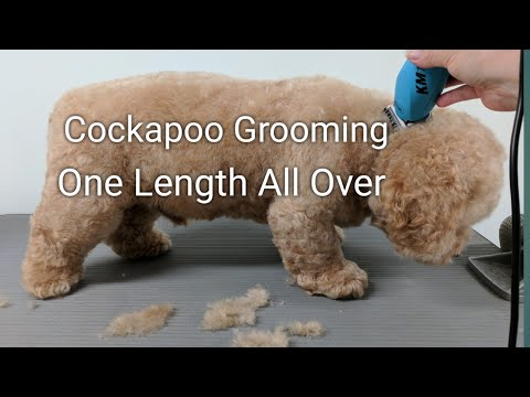Cockapoo Grooming One Length All Over