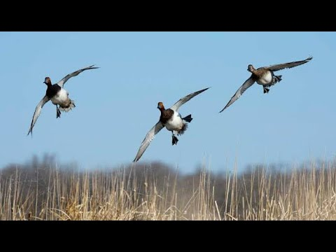 Hunting || Duck Hunting October 2020
