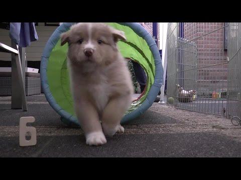 Australian Shepherd Puppies - 6 weeks old - Skayes