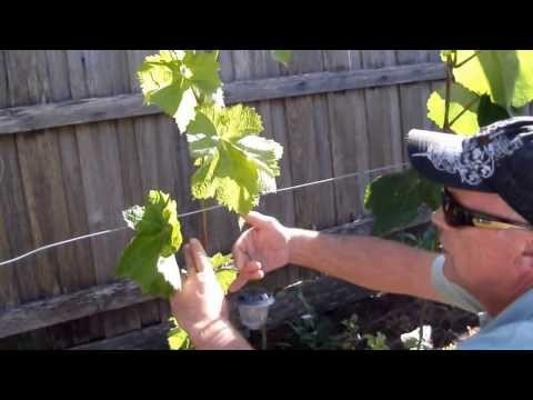 Training Grape Vines, Creating A Trunk. Pt2