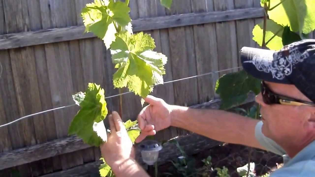 Training grape vines creating a trunk pt2 youtube - How to prune and train the grapevine ...