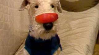 ワイアーフォックステリアのアイヴィは鼻パクが得意。 リンゴはこんなテ...