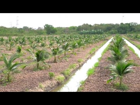 How to planting coconut fast and new technique - Coconut Factory