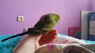 Попугай Кеша спаривается с рукой часть 2