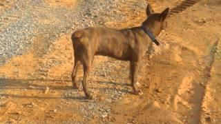 生後9か月半の琉球犬RIN(凛)君が、水たまりのシリケンイモリを気にし...