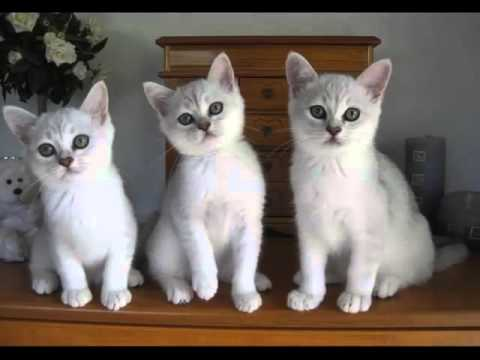 Burmilla Kittens | Collection Of Cat Pictures