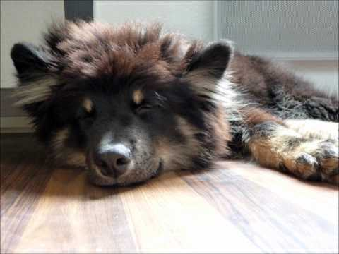 Ico, Lapinkoira (Chien finnois de Laponie - Finnish Lapphund)