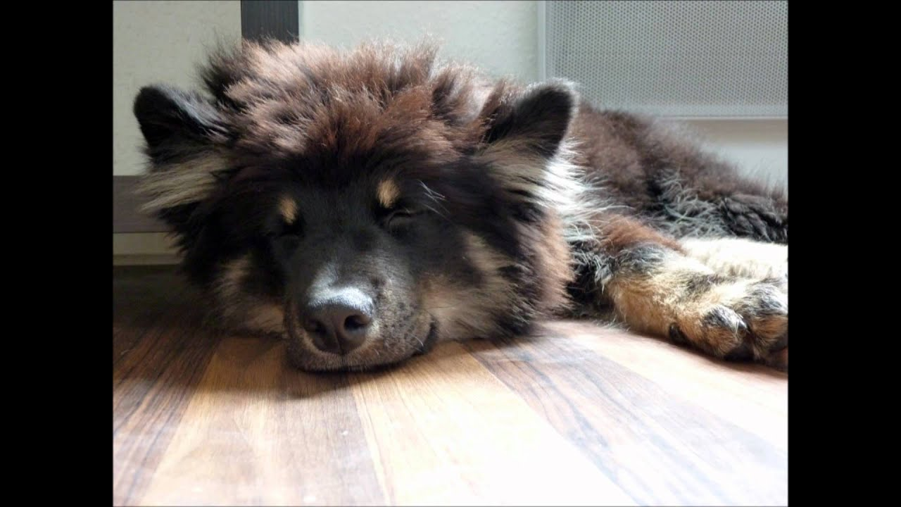 Ico Lapinkoira Chien Finnois De Laponie Finnish Lapphund