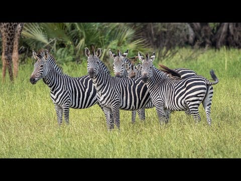 Amazing Safari in Selous, Tanzania 2017 (4K-Video)