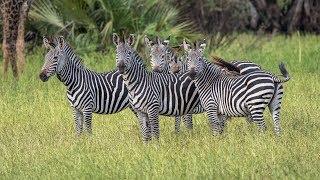 Download lagu Amazing Safari in Selous Tanzania 2017 MP3