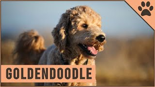 Goldendoodle  Characteristics & Advice