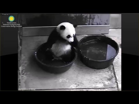 Bei Bei and daddy Tian Tian meet again  5-10-2016