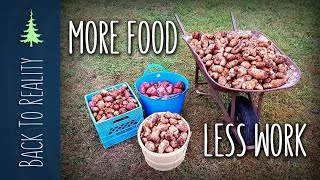 337 lbs of Potatoes! NO digging, NO watering, and VERY LITTLE work!