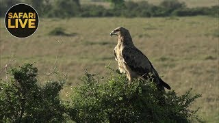 safariLIVE - Sunrise Safari - November 17, 2018 [Part 1]