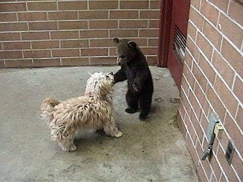 Morton the BEAR CUB vs Puppy - Action -  (c) Denmortube
