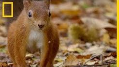 Ces écureuils roux sont devenus très rares