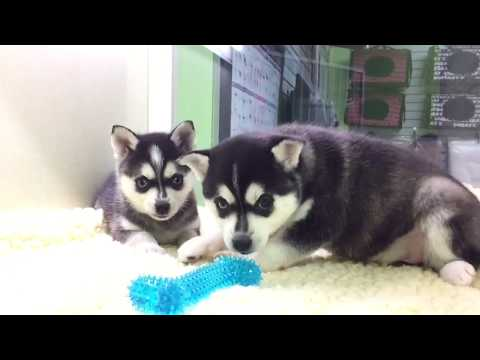 Alaskan Klee Kai Puppies for sale, www.EmpirePuppies.net