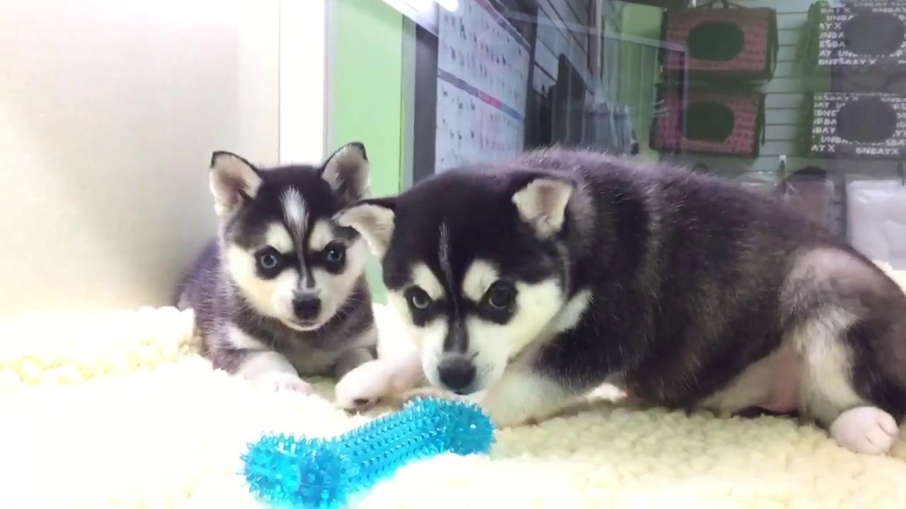 Alaskan Klee Kai Puppies For Sale Wwwempirepuppiesnet Youtube