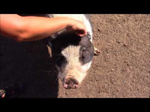 Hog Haven Farm Colorado (Vegan Sanctuary)