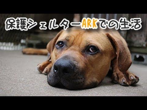 土佐犬のタイソン 保護シェルターarkでの生活 Youtube
