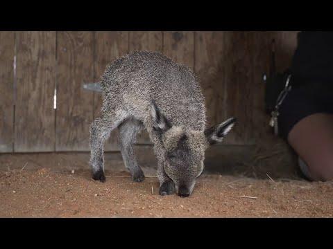 Un diminuto antílope africano nace en un zoo de Florida