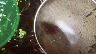 Daphnia and bloodworm culture