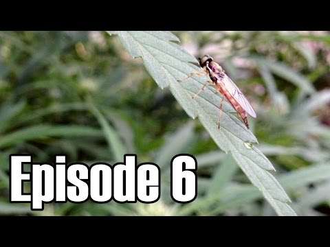 Middle of FLOWERING - Episode 6