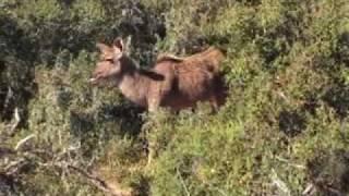 Загнали дикую свинью на сафари в ЮАР