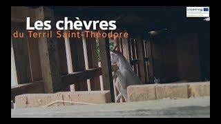 Destination terrils : les chèvres du terril Saint-Théodore