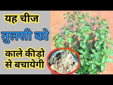 तुलसी के पौधे के लिए मिट्टी कैसे बनायें