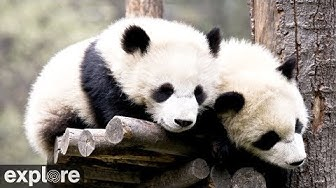 Wolong Grove Panda Cam powered by EXPLORE.org