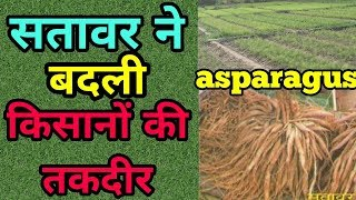 सतावर की खेती ||shatavari farming||asparagus in hindi