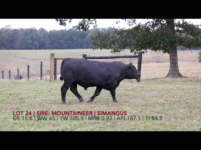 Edgewood Angus Lot 24
