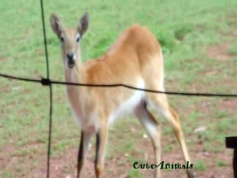 Kafue flats lechwe  (Kobus leche), or southern lechwe, antelope at  Paington,zambézi víziantilop.