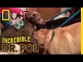 - Here Come the Dogs!   The Incredible Dr. Pol