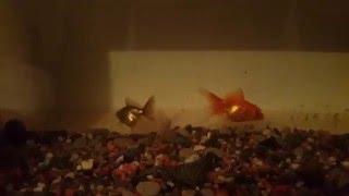 Золотые рыбки. )