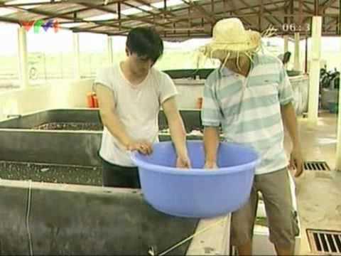 Thái Bình -  Người nuôi cá nước mặn bằng... nước ngọt