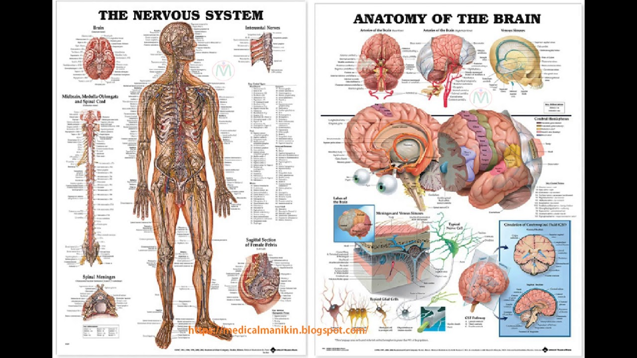 The Muscular System Anatomical Chart Poster Print Poster - YouTube