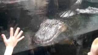 Scary alligator at the N. Carolina Aquarium at Ft. Fish eyes 2 small children