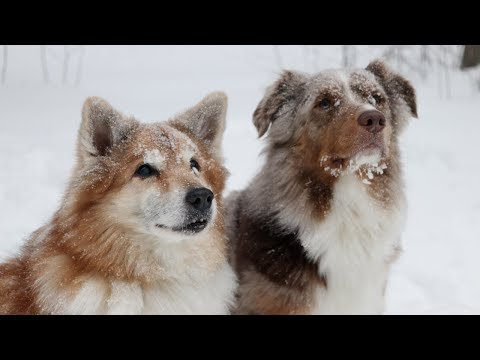 Dogs in Winter 2019 - slow motion | Australian Shepherd & Icelandic Sheepdog