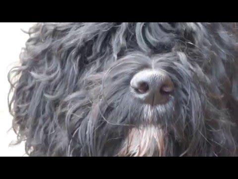 Barbet: Chien d'eau français et retriever