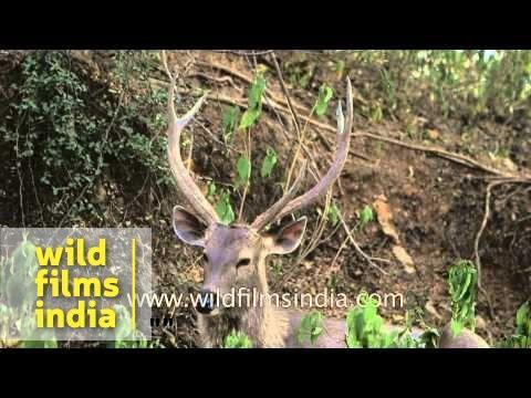 Sambar deer in Rajasthan