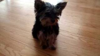 3 Month Old Yorkie Learned How To Sit And Give Paw In Just 3 Days.