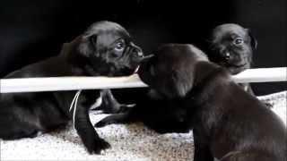 Staffordshire Bull Terrier Hvalpe