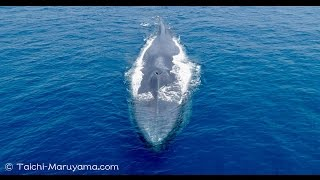 Blue Whales Drone footage 4K/シロナガスクジラのドローン空撮4K映像