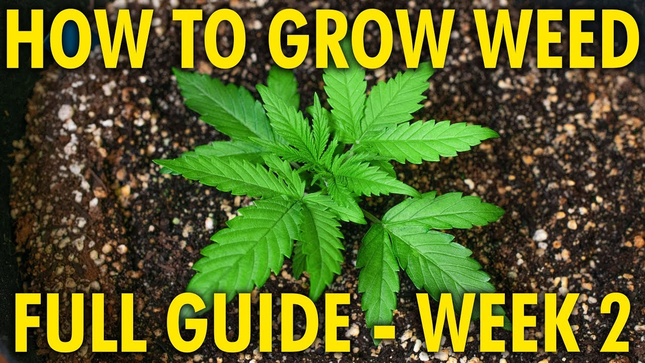 Properly Feeding Young Plants - Cannabis Grow Guide Week 2