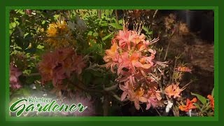 Native Azaleas | Volunteer Gardener